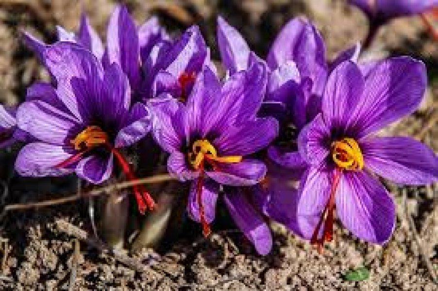 Safran Çiçeği Festivali Turu